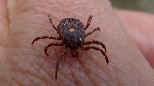 Natural Parents Network: What You Need to Know About Ticks